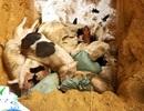 Quảng Nam: Xuất hiện ổ dịch tả lợn châu Phi