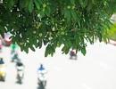 Hương hoa sữa nồng nàn giữa mùa hè 40 độ, chuyên gia lý giải nguyên nhân