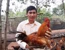 """Khuyết tật từ nhỏ, """"Vua gà"""" lấy 2 bằng đại học và sáng tạo mô hình gà dược liệu"""