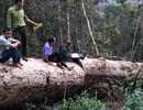 Bí thư tỉnh chỉ đạo xử lý vụ phát hiện thêm hàng chục m3 gỗ khai thác trái phép