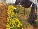 Nông dân méo mặt vì hàng trăm ha hoa cúc nhiễm bệnh