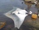 Ngư dân Lý Sơn bắt được cá đuối nặng 600 kg