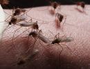 Tạo ra loại nấm biến đổi gen có khả năng tiêu diệt 99% số muỗi gây sốt rét