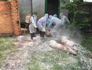 Quảng Trị tiêu hủy hàng trăm con lợn, Đắk Lắk xuất hiện thêm các ổ dịch mới