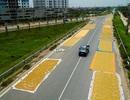 Cảnh phơi thóc chiếm phần lớn lòng đường ở Hà Nội