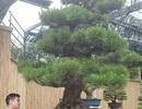 """Doanh nhân Việt chi tiền tỷ mua """"vua bonsai"""" từ Nhật về ngắm"""