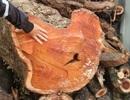 """Sắp bán đấu giá hơn 5 tấn gỗ """"sưa trăm tỷ"""""""