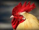 Hàng xóm lôi nhau ra tòa vì gà trống gáy quá to