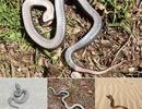 """Kì lạ loài rắn biết """"giả chết"""" ở Mỹ"""