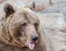 Thoát chết trong gang tấc nhờ … cắn vào lưỡi gấu