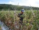 Hơn 3ha cà chua chuẩn bị thu hoạch nghi bị phun thuốc diệt cỏ