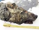 Phát hiện đầu sói thời kỳ băng hà bảo tồn hoàn hảo nhất ở Siberia