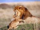 """Những khoảnh khắc có thật của """"Vua sư tử"""" trong thế giới tự nhiên"""