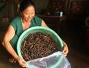 """Nghề """"hái"""" ra tiền khủng ở Đắk Nông: Săn chuối hột rừng đại bổ"""
