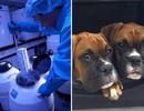 Các nhà khoa học nhân bản chó chỉ cần sử dụng… nước tiểu chó