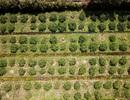 Chỉ trồng chanh không hạt, người đàn ông miền Tây mỗi năm thu trăm tỷ
