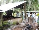 Tỉnh sau cùng ở miền Tây xuất hiện ổ dịch tả lợn Châu Phi