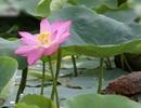 Hoa sen nở từ hạt giống 100 năm tuổi