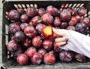 Lừa bán đặc sản Sa Pa, dân Việt ăn hết 3.000 tấn mận Trung Quốc