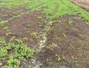 Nông dân điêu đứng vì rau chết khô, đất bỏ hoang