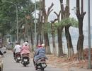 Hà Nội: Hàng cây hoa sữa trên phố Trích Sài bị đánh chuyển