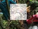 Bò tót 800 kg chết do già yếu và mắc bệnh