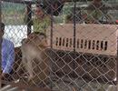 Thả 12 cá thể khỉ nguy cấp quý hiếm về với tự nhiên