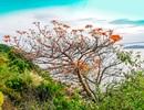 Check-in Cù Lao Chàm mùa hoa ngô đồng nở rộ