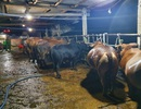 Bắt quả tang cơ sở bơm nước vào bò trước khi giết mổ