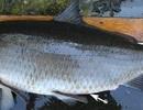 Phát hiện cá trâu nặng hơn 10 kg có từ thời Thế chiến I