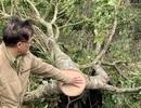 Bắt quả tang 11 đối tượng cưa hạ rừng trái phép
