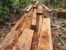 Phát hiện vụ phá rừng ở Bắc Trà My với hơn 25m3 gỗ