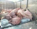 Bạc Liêu: Bắt xe tải chở hơn 1 tấn lợn nghi bị bệnh trên đường đi tiêu thụ