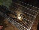 """""""Bắt sống"""" trăn gấm quý hiếm đang mò vào khu dân cư để ăn gà"""