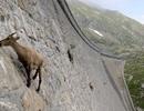 Bí quyết nào giúp Dê-Cừu trở thành những nhà leo núi giỏi nhất hành tinh?