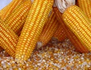Ủy ban Châu Âu cấp phép 10 sinh vật biến đổi gen