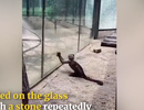 Xem chú khỉ dùng đá nện vỡ lồng kính hòng tẩu thoát