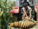 Trung Quốc: Hổ xổng chuồng ngay giữa màn trình diễn, người xem hoảng loạn chạy thoát thân