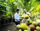 Cocoxim - câu chuyện về nỗ lực vươn ra thế giới của nước dừa Bến Tre