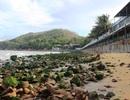 Bãi biển Quy Nhơn bất ngờ phát lộ bãi đá phủ rêu xanh