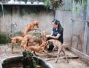 """Cận cảnh đàn chó Phú Quốc bạc tỷ của """"bóng hồng"""" xinh đẹp Hà Nội"""