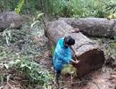 """Người đàn ông bị gỗ lậu """"khủng"""" đè tử vong trong rừng sâu"""