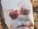 Kinh hãi bê con chào đời với gương mặt người đau khổ
