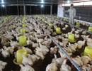 Đồng Nai: Rớt giá, thịt gà có giá bằng rau muống