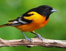 Số lượng chim ở Bắc Mỹ và Châu Á giảm hàng triệu con chỉ trong 50 năm