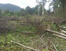 """Gần 1.200ha diện tích rừng """"bị mất"""": Khởi tố nguyên trưởng ban"""