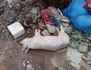 Xác lợn chết nghi nhiễm dịch tả châu Phi vứt bừa bãi, la liệt trên đường