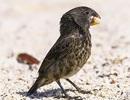 Loài chim sẻ có sức cắn mạnh gấp… 320 lần so với khủng long bạo chúa