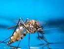 Tìm ra phương pháp mới làm giảm sinh sản của muỗi