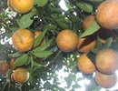 """Mê mẩn nhìn những vườn cam chín mọng chuẩn bị """"bung lụa"""" cho Tết Nguyên Đán"""